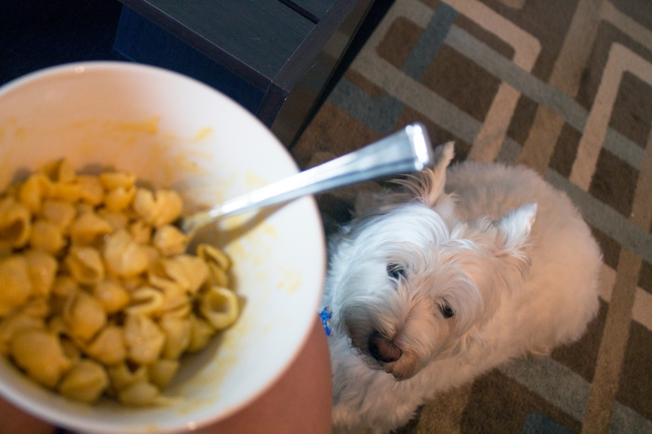 Begging for food is a normal thing. What It Is Like to Live with a Westie