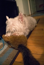 "Like many children, Guinness has a security ""blanket"" he flocks toward at night. He sucks on his Woodchuck when he is really tired. What It Is Like to Live With a Westie."