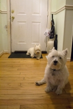 Stay home with us today! What It Is Like to Live with a Westie.