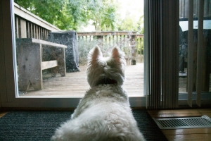 Dreaming of playing outside and barking at the squirrels. What It Is Like to Live with a Westie.