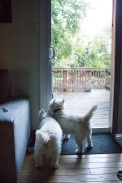 Waiting to Go Outside with Westies