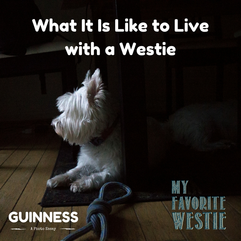 Ever wonder what it would be like to add a Westie to your family? Take a peek at the Life of Guinness.